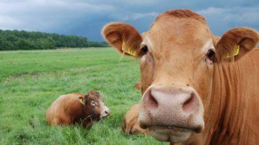 marirea sanilor cu ovare de bovina